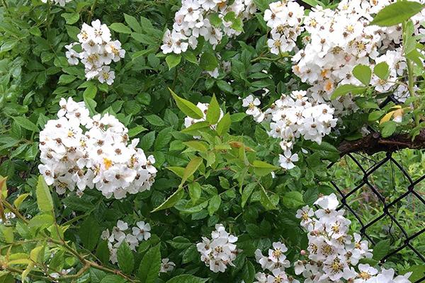 1Multiflora Rose