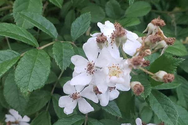 1Multiflora Rose2