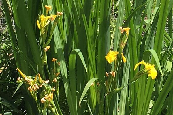 1Yellow Iris